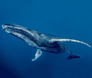 Ritz-Carlton Kapalua Maui Whale Trust